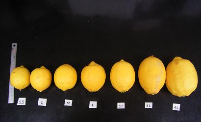 国産レモンサイズ別